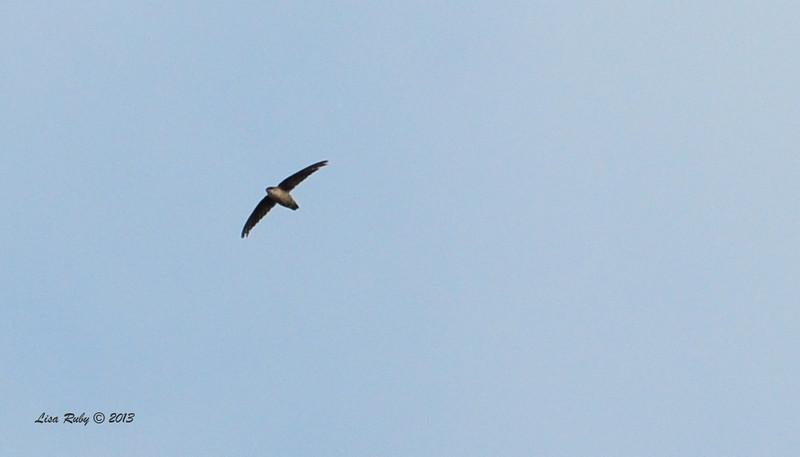 Vaux Swift - 10/12/13 - Whelan Lake