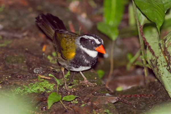 Orangebilled Sparrow