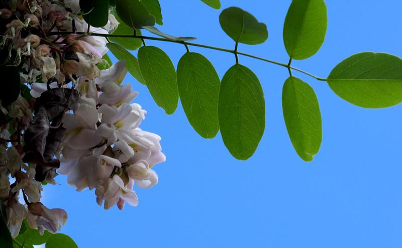 fragrant mystery tree