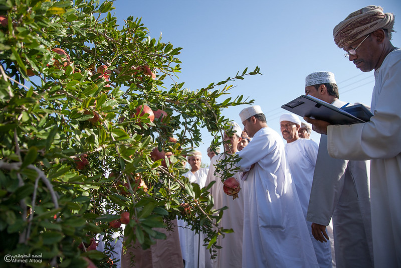 Pomegranate - Aljabal Alakhdhar (24)-Aljabal Alakhdhar-Oman.jpg
