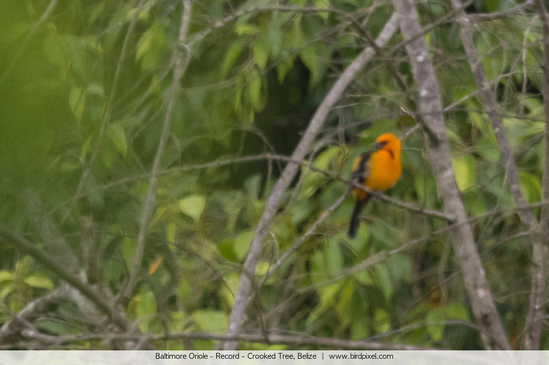 Baltimore Oriole - Record - Crooked Tree, Belize