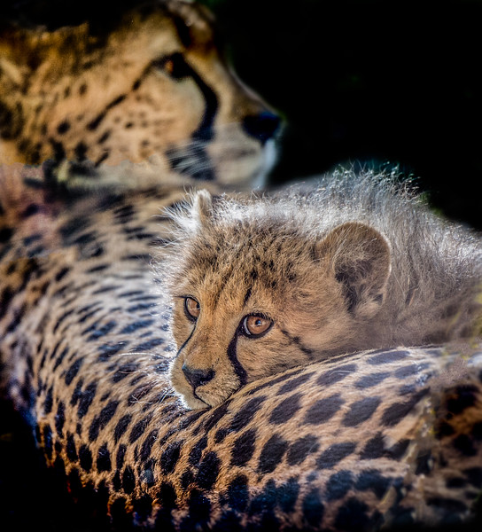 Closeup of a sweet cheetah cub and mother