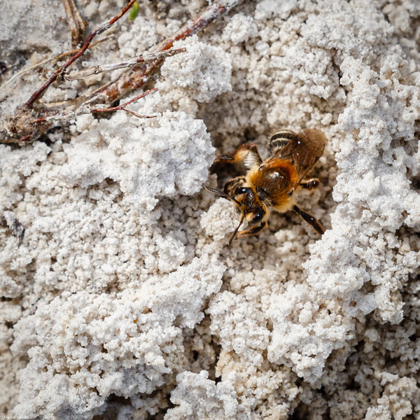Yellow-Legged Mining Bee
