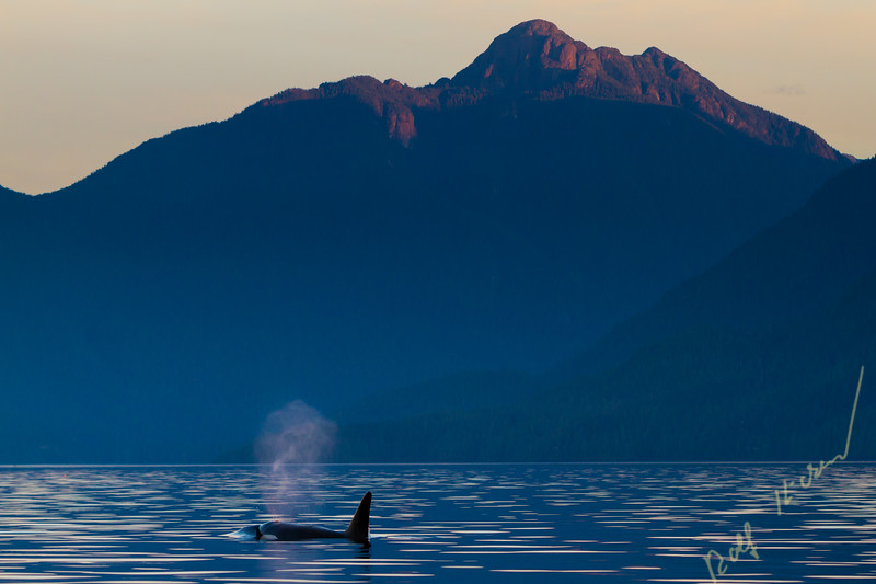 Male northern resident killer whalein Johnstone Strait in front of Robson Bight Ecological Reserve during sunset, British Columbia, Canada