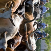 CATTLE DRIVE AT THE SAN MATEO COUNTY FAIR
