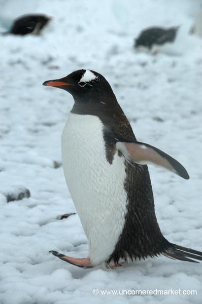 Gentoo Penguin: Brisk Walk in the Snow in Antarctica