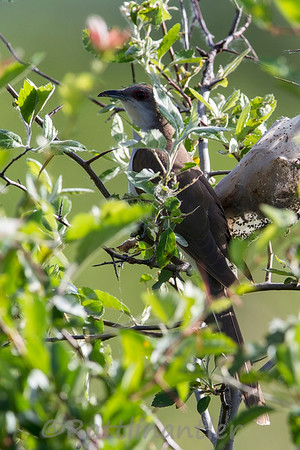 Black-Billed Cuckoos