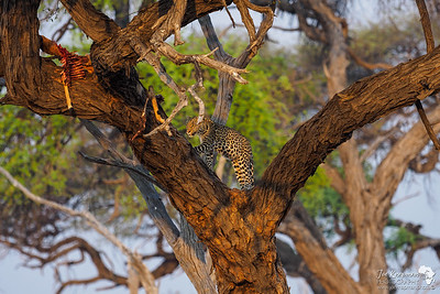 Elusive Leopard in the morning