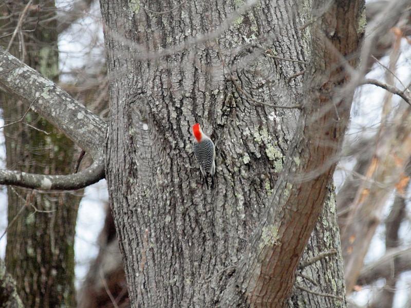 Woodpecker-002.JPG