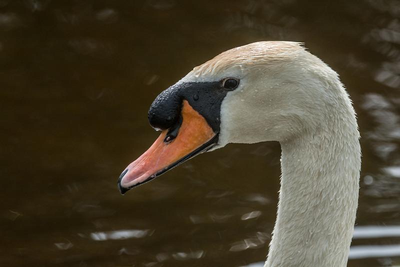 Mute Swan's Nest - April 7, 2014