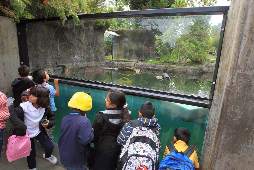 . School children observe the river otter exhibit at the Oakland Zoo in Oakland, Calif., on Thursday, May 9, 2013. Three male pups, named Kohana, (swift) Hinto, (blue) and Shilah (brother) were born to river otter Ginger on February 24.  (Jane Tyska/Bay Area News Group)