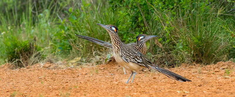 Greater Roadrunners (Geococcyx californianus)