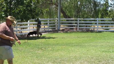 Kona's Rattlesnake Aversion Training 072713