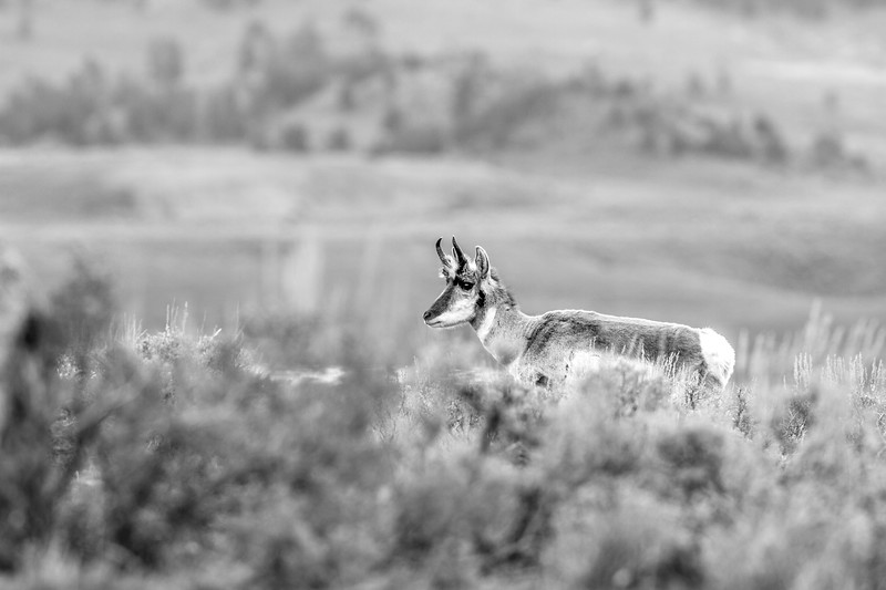 Pronghorn Yellowstone National Park WY IMG_7341.jpg