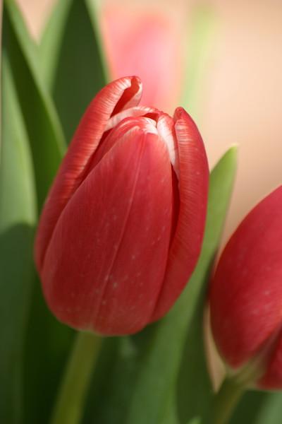FL-01-tulip on pink Vertical-0085.jpg
