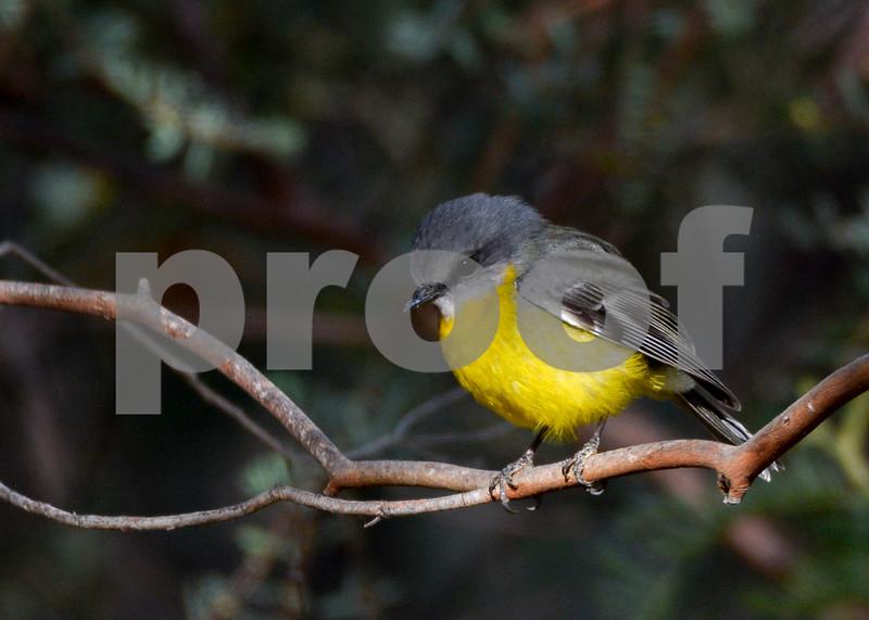 yellow robin gd.jpg
