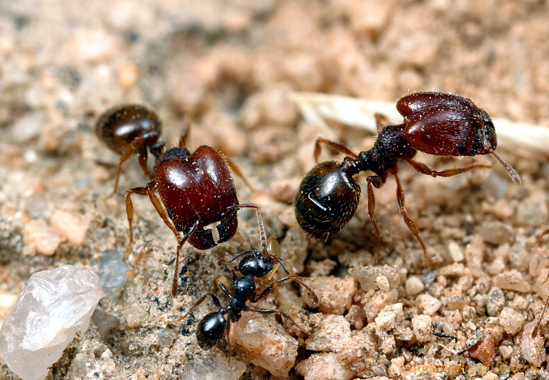 Pheidole xerophila is a common small seed harvester in the deserts of the American southwest.  Here are major and minor workers along a foraging trail.  Mojave National Preserve, California, USA