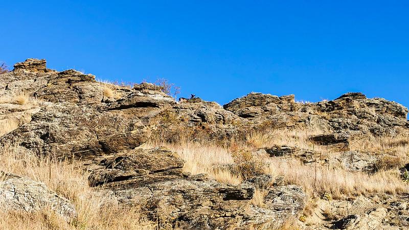 20210501 Deer - Otago Rail Trail - Johns mob 215.jpg