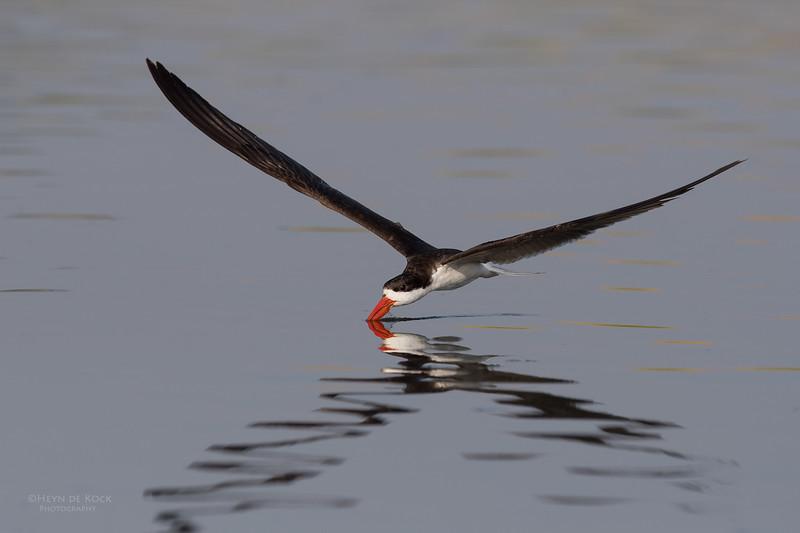 African Skimmer, Chobe River, NAM, Oct 2016-21.jpg