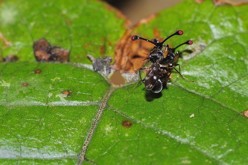 Stalk-eyed-fly-03.jpg
