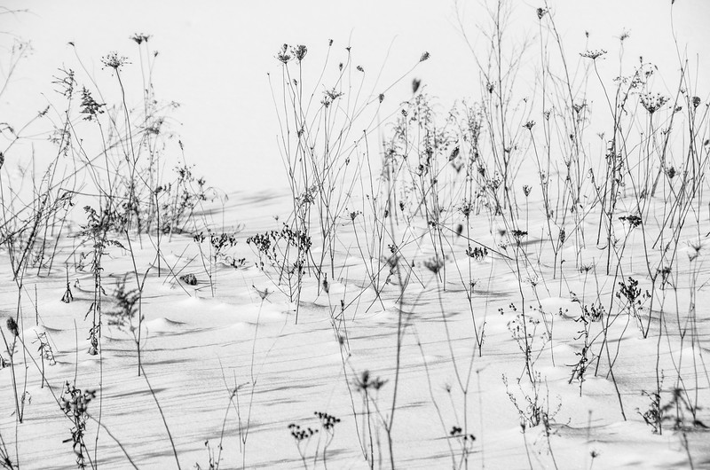 seedheads in snow HEADER.jpg