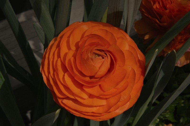 2017 nantucket rose?.jpg