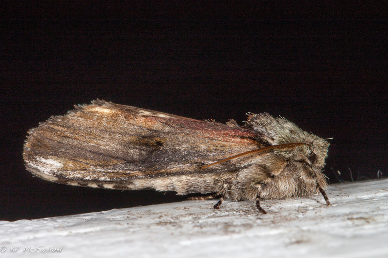 Red-washed Prominent Moth (Oligocentria semirufescens)