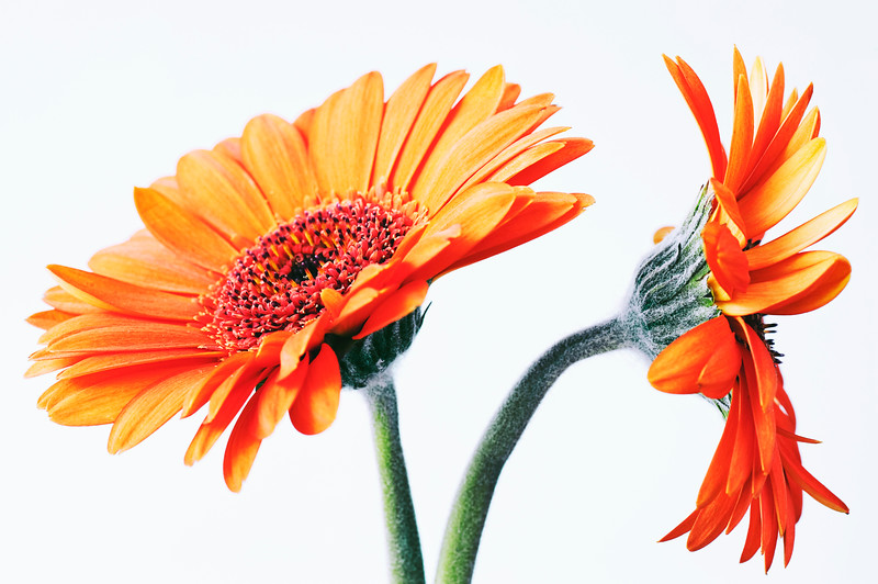 Two of us, Gerbera.jpg