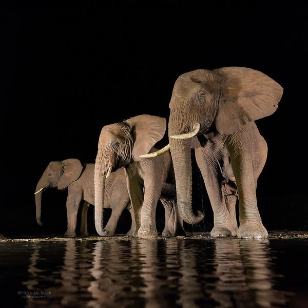 African Elephant, Zimanga, South Africa, May 2017-4.jpg