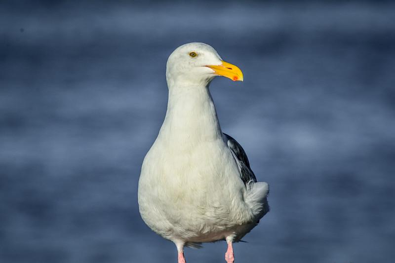 -_Western Gull - 2013-09-29_276.jpg