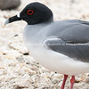 """Wildlife, landforms & landscapes of the Galapagos Islands. <br /> The Swallow-tailed Gull, Creagrus furcatus<br /> Photos, prints & downloads SEE ALSO:  <a href=""""http://www.blurb.com/b/3551540-galapagos-islands"""">http://www.blurb.com/b/3551540-galapagos-islands</a>"""