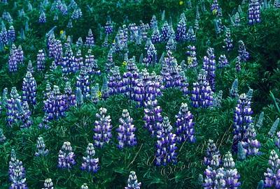 Adak, Alaska, flowers
