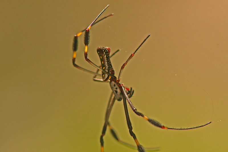 Golden Orb Spider, Osa Peninsula, Costa Rica