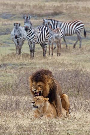 Lions of Serengeti