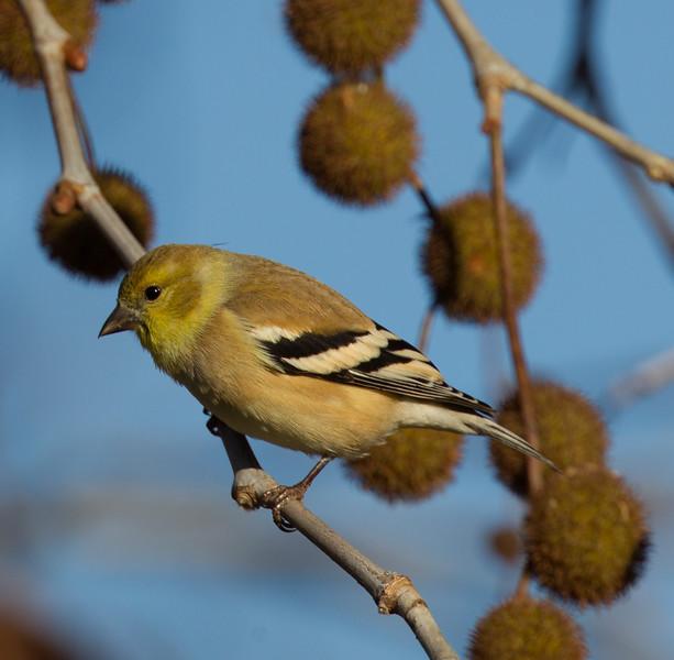 American Goldfinch  Encinitas 2015 12 01-3.CR2