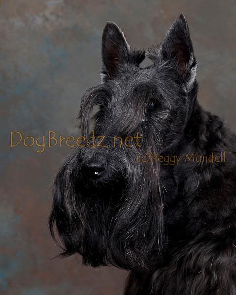 Jennifer Maniscalco - Scottish Terrier