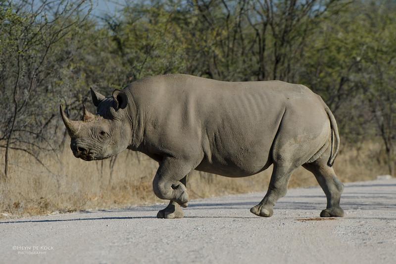 Black Rhino, Etosha NP, Namibia, July 2011-2.jpg