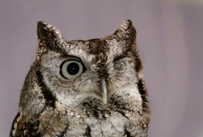Eastern Screech Owl, Zephyr