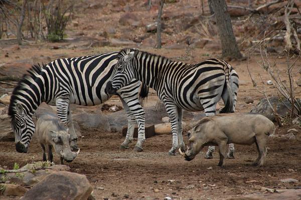 Zebra South Africa 2004 2007