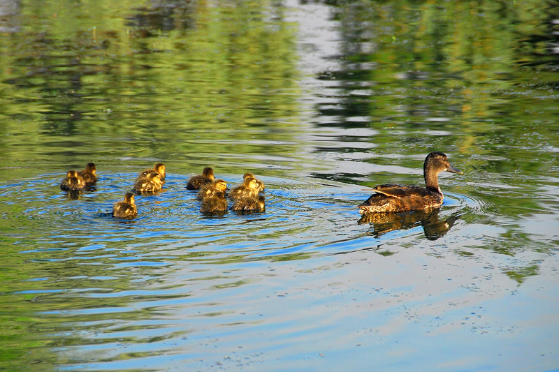 7/8/07 – What caught my eye was the fact that this mother duck had between 12 and 14 ducklings. I had a hard time counting them. I think I see 14 little heads.