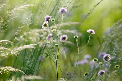 Massachusetts Wildflower Identification
