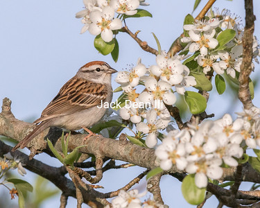 Chipping Sparrow In A Pear Tree