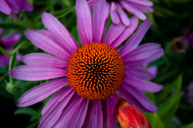 Yet Another Purple Cone Flower