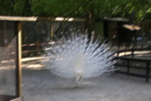 """A white peacock """"in bloom"""" at the Magnolia Plantation in Charleston, South Carolina."""
