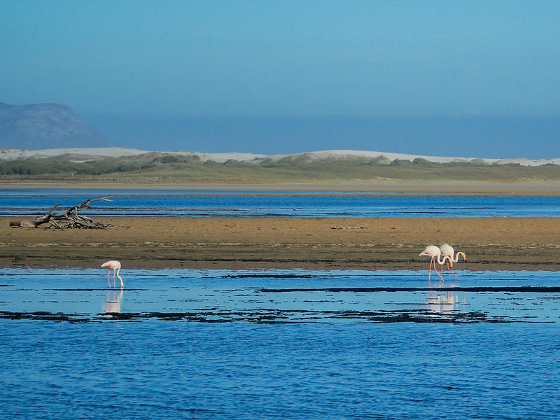 Flamingos near Gansbaai, South Africa