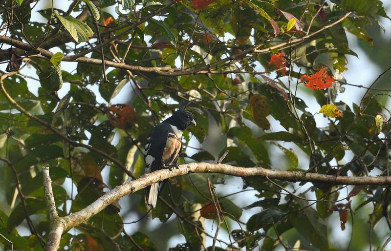 Black-baza-Andaman.jpg