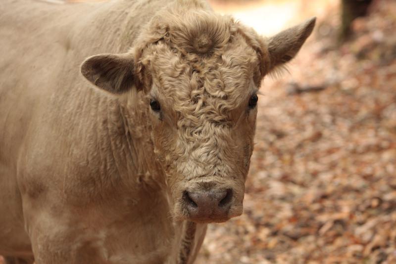 20080920_IMG_0176-Bull2.jpg