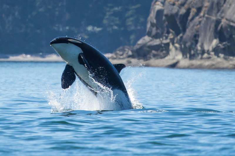 Orcas -  073115-163-Edit.jpg