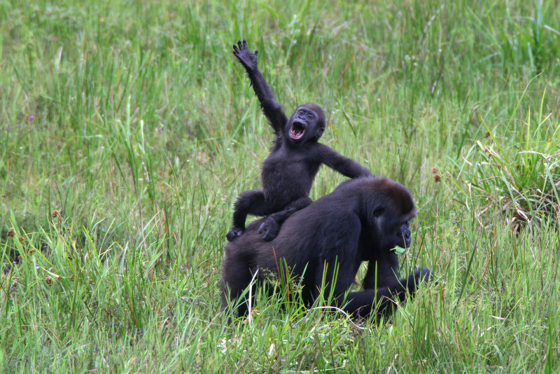 Description of . A baby gorilla shouts from atop its mothers back in the Republic of Congo. Female gorillas produce on the average one baby about every five years. A new census conducted by WCS and the government of the Republic of Congo tallied more than 125,000 western lowland gorillas in the northern part of the country. Previous estimates from the 1980s placed the entire population of western lowland gorillas, which occur in seven Central African nations, at less than 100,000. (AP Photo/Wildlife Conservation Society, Thomas Breuer)