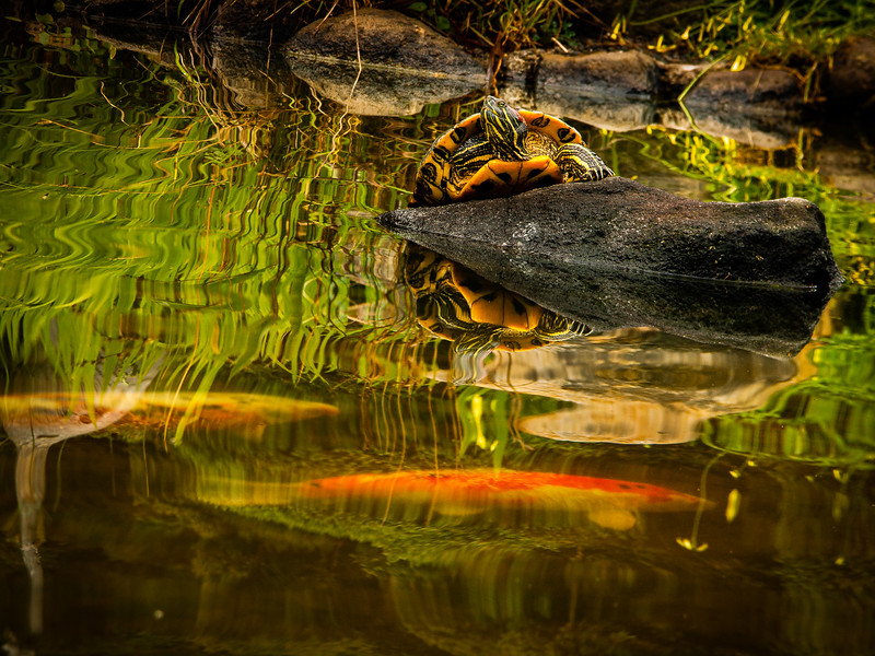 Turtle and koi, Hakone Gardens,  Saratoga, California, 2006